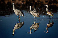 Three Sandhill Cranes and their reflections wading in the North Chupadera Pond at Bosque del Apache National Wildlife Refuge.