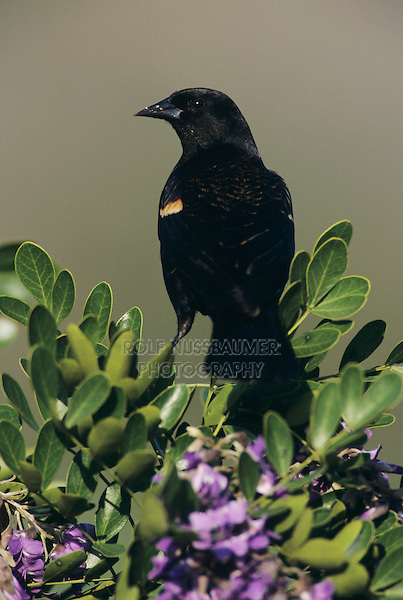 Red-winged Blackbird, Agelaius phoeniceus,male on blooming Texas Mountain Laurel (Sophora secundiflora), Lake Corpus Christi, Texas, USA, March 2003
