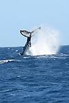 A deux cent metres de nous surgit des eaux une baleine a bosses.   30 tonnes suspendues au dessus de la ligne d horizon. Un splash gigantesque suivi d'une belle vague et la baleine sonde sous la coque sans attendre nos applaudissements.