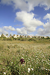 Israel, Sharon region, Iris atropurpurea in Netanya