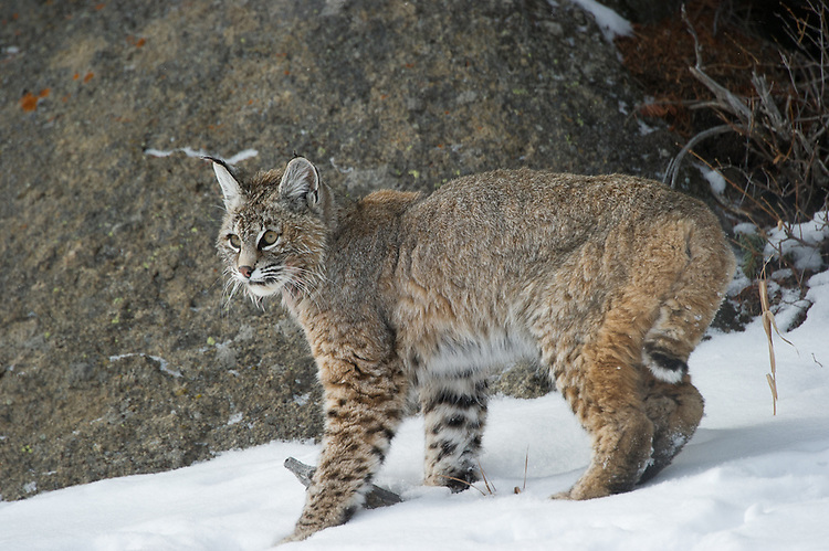 Red Lowland Bobcat walking and crouching  near a rock