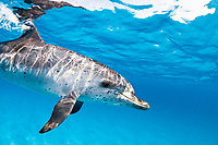 Atlantic spotted dolphin, Stenella frontalis, Grand Bahama, Bahamas, Caribbean Sea, Atlantic Ocean
