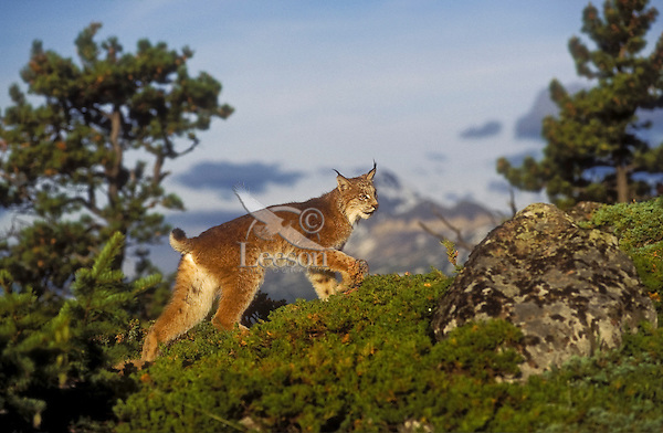 Canada Lynx (Lynx canadensis), summer, Rocky Mountains, North America.