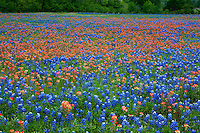 A thick carpet of native Texas Bluebonnets & Indian Paintbrush Wildflowers, Texas, USA