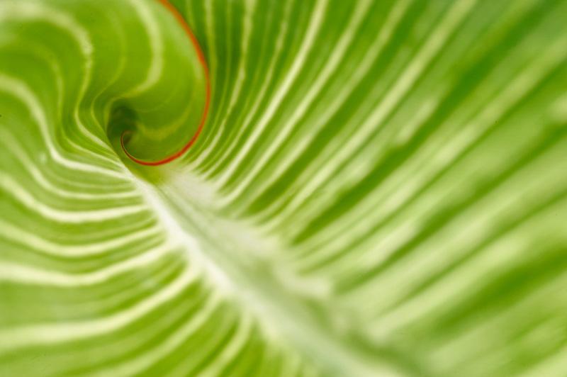 Close up of Hosta leaf. Hughes Water Gardens. Oregon