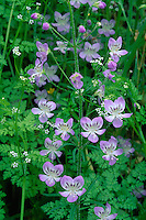 Large-flowered tonella and chervil<br /> Highway 12<br /> Snake River Canyon near Clarkston<br /> Asotin County,  Washington