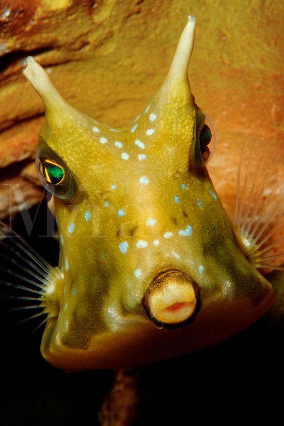 Longhorn cowfish, Lactoria cornuta, are found in the tropical Pacific. Papua New Guinea, Pacific Ocean