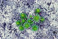 The dubautia or na ena e on lichen covered lava.