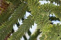"""Chilenische Araukarie, Andentanne, """"Schlangenbaum"""", Schuppentanne, Affenschwanzbaum, Chilenische Schmucktanne, Araucaria araucana Syn. Araucaria imbricata, Araucaria chilensis, Dombeya chilensis, monkey puzzle tree, monkey tail tree, Chilean pine,  pehuén, monkey-puzzle-tree, monkey-tail-tree, Araukariengewächse, Araucariaceae"""