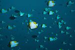 Schooling Pyramid butterflyfish (Hemitaurichthys polylepis) in the blue.