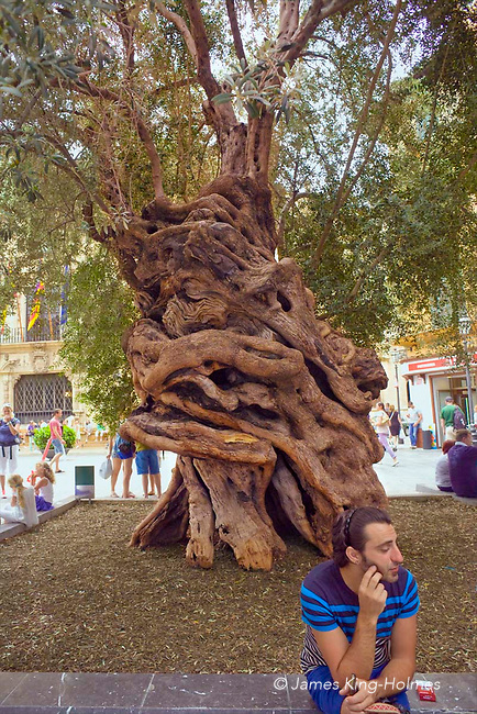 A 600-year old olive tree, known as the Olivera de Cort and symbolic of the peace and roots of the island of Mallorca, is planted in front of the City Hall in the Plaça de Cort, in the old centre of Palma de Mallorca.