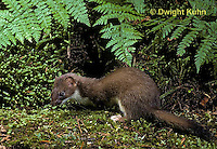 MA28-010z  Short-Tailed Weasel - ermine in forest in brown summer coat - Mustela erminea