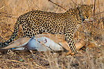 Leopard with its catch, Luangwa National Park, Zambia