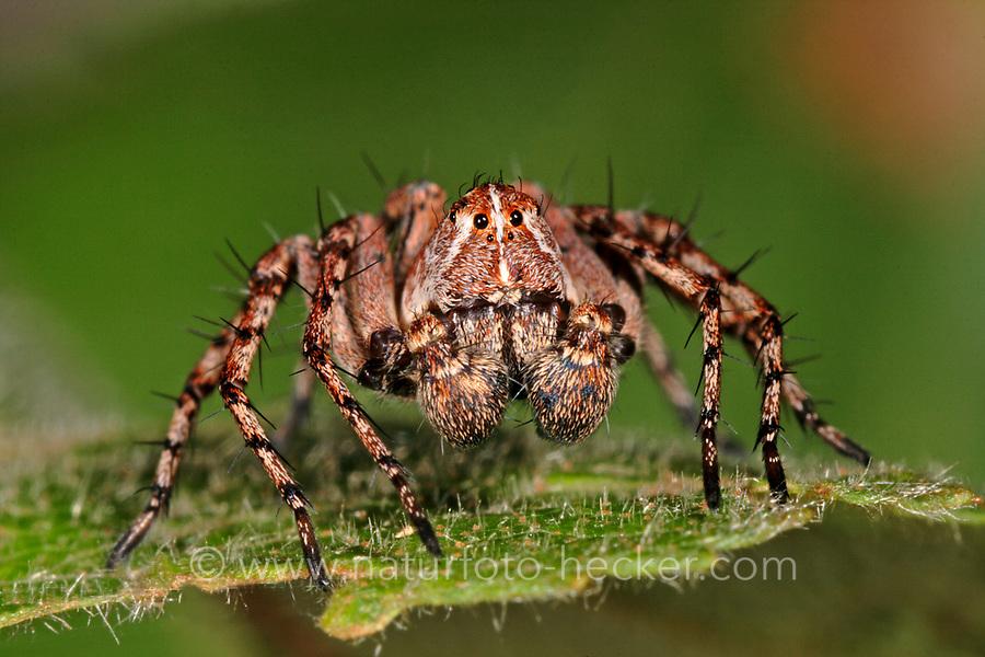 Luchsspinne, Luchs-Spinne, Oxyopes ramosus, Lynx Spider, Luchsspinnen, Oxyopidae