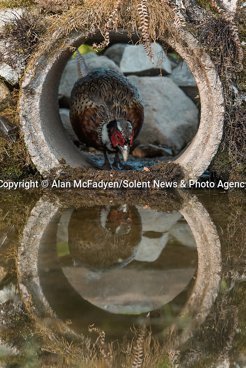 Pictured: A male phesant peeks out of the tunnel<br /> <br /> A series of animals are perfectly reflected in a pool of water as they peek their heads out of a tunnel.<br />    The array of wildlife - from a red squirrel to a badger - seek refuge from the hot weather in the drainage pipe.<br />  <br /> Visitors to the 18-inch wide tunnel and the surrounding small pool include a blackbird, a great spotted woodpecker, an otter and a family of blue tits.    Photographer Alan McFadyen pictured the animals near his home in Kirkcudbright, Scotland.   SEE OUR COPY FOR DETAILS<br /> <br /> Please byline: Alan McFadyen/Solent News<br /> <br /> © Alan McFadyen/Solent News & Photo Agency<br /> UK +44 (0) 2380 458800