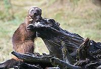 Wolverine sitting on a log