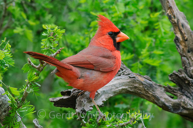 Adult male Northern Cardinal (Cardinalis cardinalis) of the subspecies C. c. magnirostris. Note the large bill of this subspecies. Starr County, Texas. March.