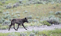 We had a few nice wolf sightings on this trip, involving members of the Junction Butte and Wapiti Lake Packs.