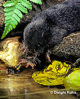 MB11-004z  Star-nosed Mole - drinking from pool - Condylura cristata