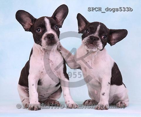 Xavier, ANIMALS, dogs, photos(SPCHdogs533b,#A#) Hunde, perros