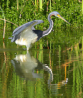 Tricolored heron in non-breeding plumage fishing with wings raised