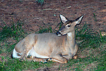 White-tailed deer doe resting at edge of forest.