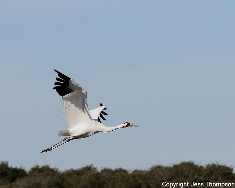 Whooping Crane, near Goose Island State Park, Texas