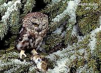 OW03-074a  Saw-whet owl - with mouse prey - Aegolius acadicus