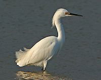 Snowy egret adult breeding standing in water