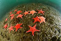 sea stars, Odontaster validus, Deception Island, Antarctica