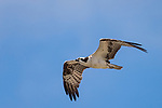 Del Mar, California; an adult Osprey flying away from its nest in search of food for its three chicks