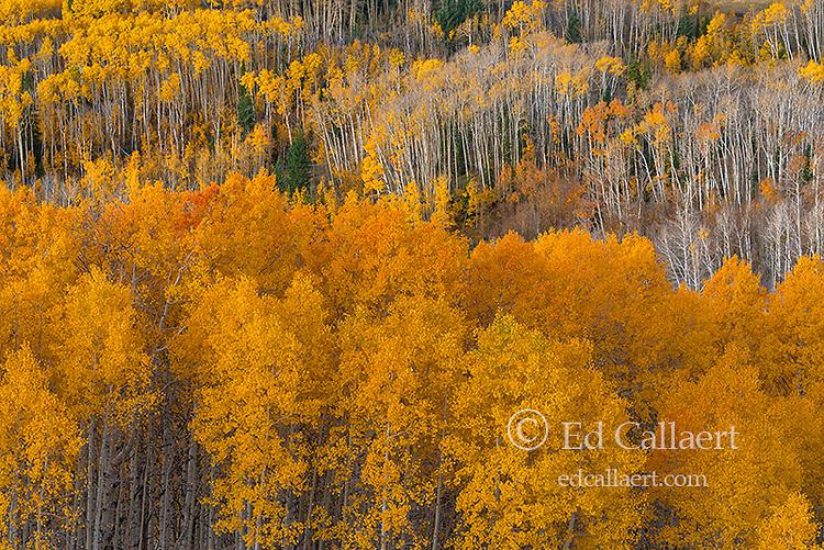Aspen, Populus Tremuloides, Boulder Mountain, Dixie National Forest, Utah