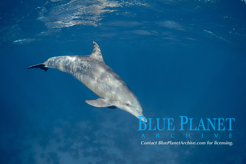 bottlenose dolphin, Tursiops truncatus, Egypt, Safaga, Red Sea, Northern Africa