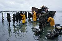 Europe/France/Picardie/80/Somme/Le Crotoy : Charles Derosière récolte les moules de Bouchot [Autorisation : 291]- Baie de  Somme