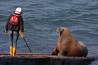 Pictured: An RNLI volunteer uses a brush to get Wally the walrus move off the RNLI slipway in Tenby, Wales, UK.<br /> Re: An RNLI lifeboat volunteer had to use an air-horn to budge Wally the walrus off the station's slipway in Tenby, Wales, UK.<br /> The mammal was basking in the sun on Monday afternoon when Tenby RNLI lifeboat were called to respond to a potential emergency involving a canoe.<br /> Despite one crew member's best efforts with a brush, the sturdy sea creature was not moving.<br /> Wally has become a tourist attraction, having strayed unusually south to the Pembrokeshire coast last month.