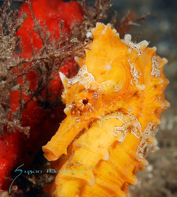 Orange Seahorse, Hippocampus Erectus, Blue Heron Bridge; Lake Worth Inlet; Florida; USA; Amazing Underwater Photography; Marine behavior