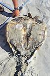 Measuring Dead Black Sea Turtle