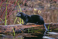 American mink (Neovison vison) on fallen log in wetlands.  Western U.S., early spring.