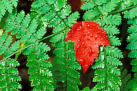 Red maple leaf on green ferns, Snowy Mountain Trail, near Indian River, Hamilton County, Adirondack State Park, N