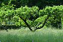 Apple tree, Orchard, Vann House and Garden, Surrey, mid June.