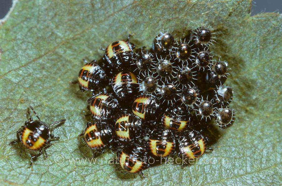 Beerenwanze, Larve, LArven, Nymphe, Nymphen schlüpfen aus Eiern, Beeren-Wanze, Dolycoris baccarum, sloe bug, sloebug, Baumwanzen, Pentatomidae, stink bugs