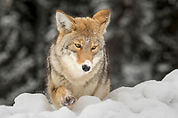 Coyote.  Lamar Valley, Yellowstone National Park.