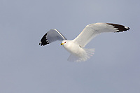 Adult Ring-billed Gull (Larus delawarensis) in breeding (alternate) plumage in flight. Ontario County, New York. February.