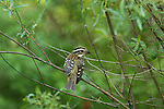 Immature rose-breasted grosbeak - male