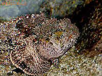"0109-08oo  Spotted Scorpionfish ""Venomous Spines on Fish"" - Scorpaena plumieri  © David Kuhn/Dwight Kuhn Photography"