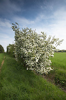 Hawthorn in flower<br /> Picture Tim Scrivener 07850 303986