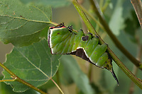 Großer Gabelschwanz, Raupe frisst an Zitterpappel, Pappel, Cerura vinula, Dicranura vinula, puss moth, caterpillar, La Queue fourchue, Vinule, Grande harpie, Zahnspinner, Notodontidae