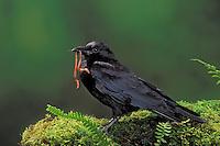 Common Crow/American Crow with earthworm. British Columbia, Canada. (Corvus brachyrhynchos). Pet crow.