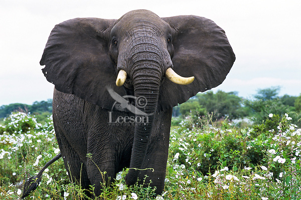 Large African Elephant bull displays massiveness (and aggressiveness) while standing among tissue flowers in Africa.