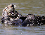**ADVANCE FOR WEEKEND JUNE 9-10**An otter cleans itself in the water in Monterey, Calif., Tuesday, May 8, 2007.  Research biologists who pace the coastline counting the endangered species see it in the mauled faces of females and the increasingly aggressive mating habits of males that mount other males. While the annual spring census conducted by the U.S. Geological Survey showed a 12 percent rise in the state's sea otter population, scientists say the numbers obscure troubling trends in the kelp beds where the beloved marine mammals make their homes. (AP Photo/Paul Sakuma)